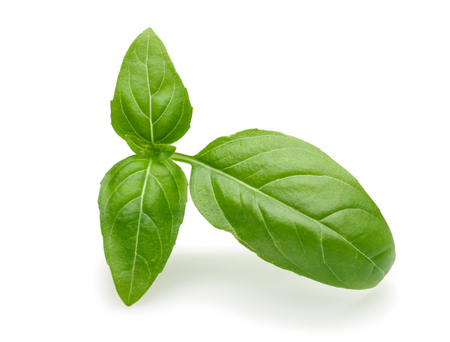 Branch of green basil leaves isolated on white background 写真素材 - 122220501