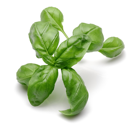 Branch of green basil leaves isolated on white background 写真素材