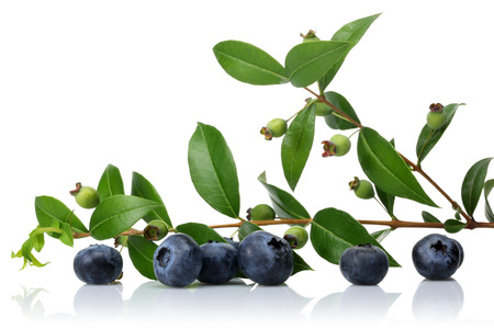Unripe and ripe blueberries with leaves isolated on white background