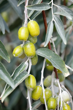 Branch with unripe fruits of Elaeagnus, silverberry, oleaster 写真素材