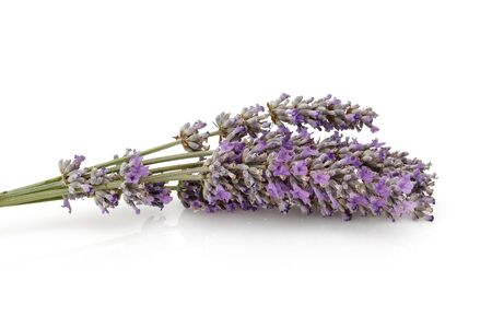 Fresh lavender isolated on white background