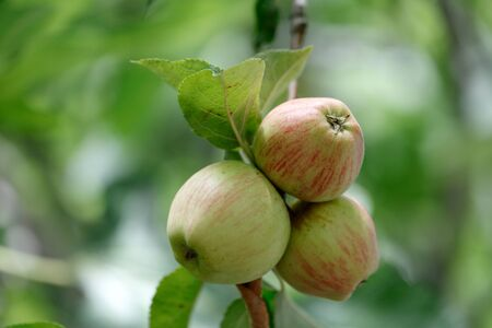 Fresh apples on a tree branch with leaves, full frame