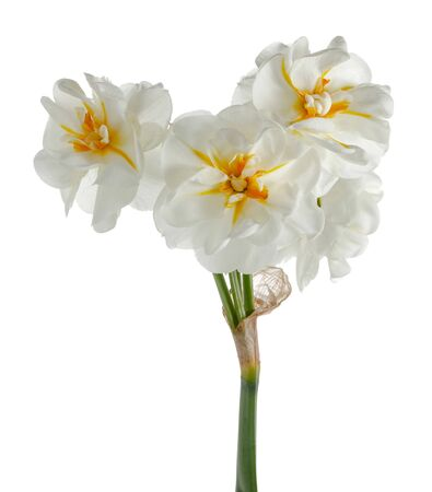 White daffodil isolated on white background Imagens