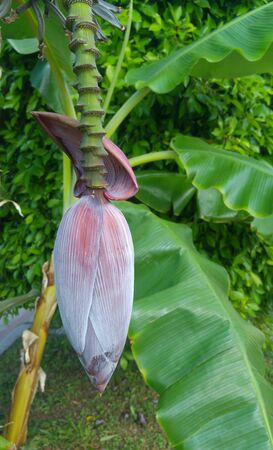 Banana flower on a branch with green leaves