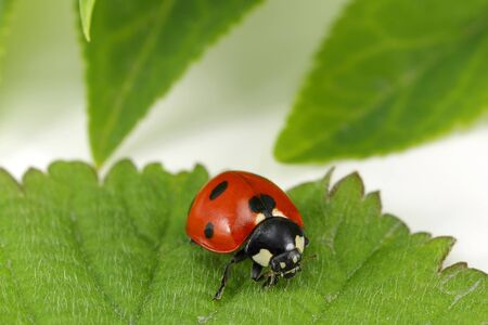 Ladybug on the green leaf, macro shot