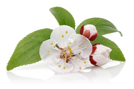 Almond flower and bud with leaves isolated on white background