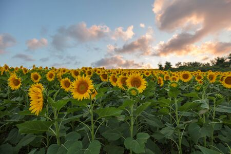Farm field of sunflowers and cloudy sky, full frame