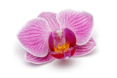 Pink orchid isolated on white background 版權商用圖片
