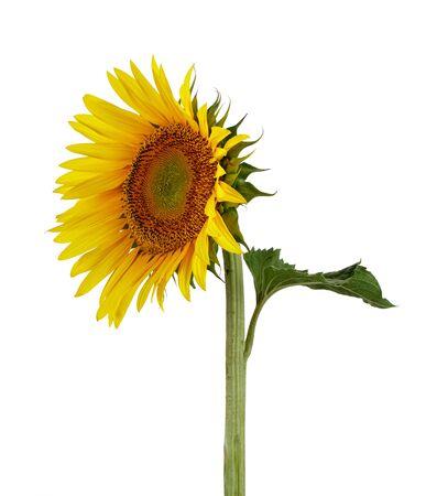Single Sunflower with leaf isolated on white background 版權商用圖片