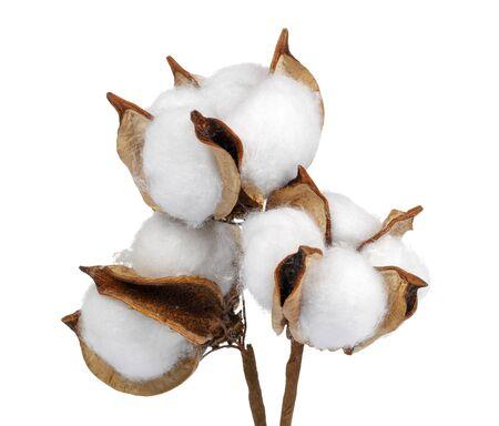 Cotton boll isolated on white background. Studio shot