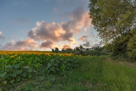 Farm field of sunflowers and cloudy sky, full frame 版權商用圖片 - 138322601