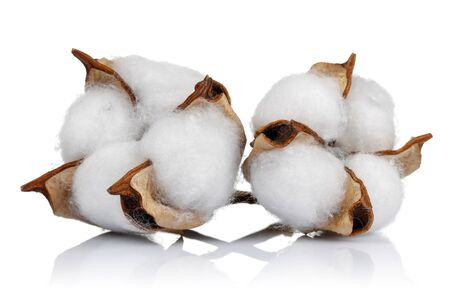 Cotton boll isolated on white background. Studio shot 版權商用圖片 - 138391271