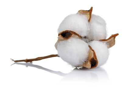 Cotton boll isolated on white background. Studio shot