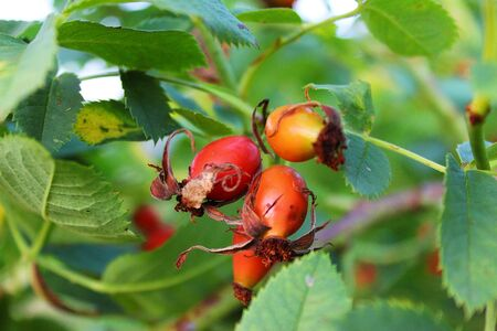 three fresh rose hips with the leaves Standard-Bild