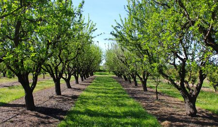 almond orchards, between rows, in the spring, just started to leaf