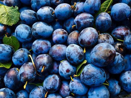 Plums, a lot of very beautiful blue plums, between plums some leaves, background. Stockfoto