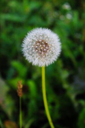 Gavilon dandelion seed. Close up of taraxacum / dandelion seedhead on a green background.