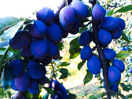 Ripe plums on a leaf branch, ready to harvest. Plums in the orchard. Banque d'images
