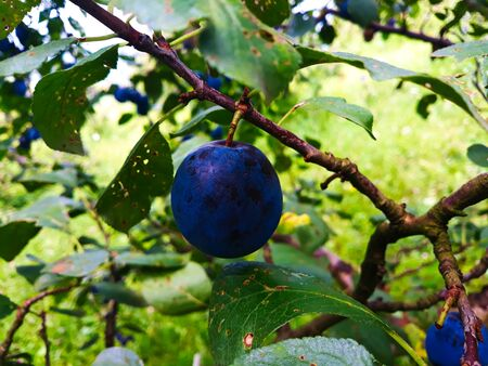One ripe plum on a branch. Beautiful blue plum on the branch.