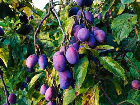 Ripe plums on a leaf branch, ready to harvest. Plums in the orchard.