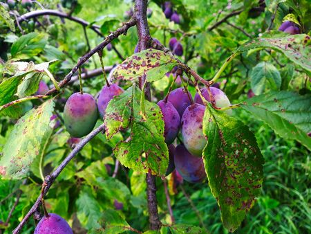 Unripe plums on the branch, the plums begin to blue. Orchard plum.