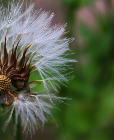 Close-up of seeded dandelion head, symbol of possibility, hope, and dreams. Good image for sympathy, get-well soon, or thinking of you greeting card. Taken in Beja, Portugal. Stockfoto