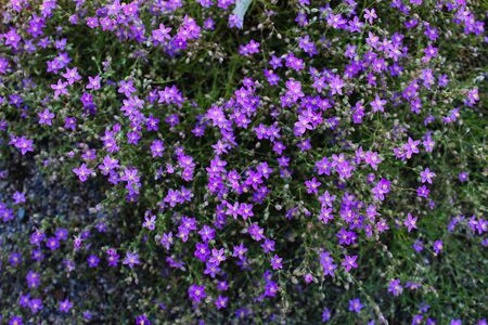 Very small beautiful invasive purple flowers in Beja, Portugal.