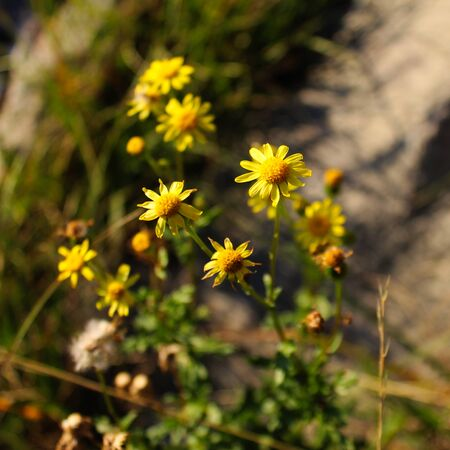 Beautiful yellow flowers from the Asteraceae family. On the mountain Bjelasnica, Bosnia and Herzegovina.
