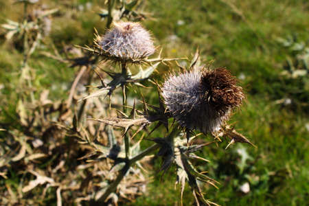 Dried flower head Thistle with sharp prickles. On the mountain Bjelasnica, Bosnia and Herzegovina. Reklamní fotografie