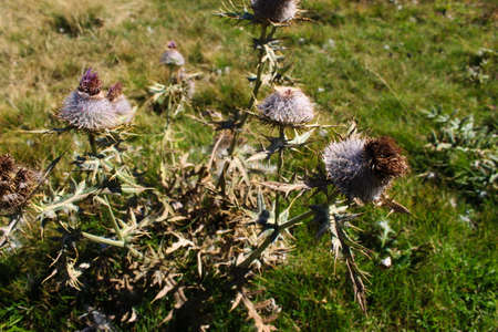 Huge Thistle with dried flowers on the meadow. On the mountain Bjelasnica, Bosnia and Herzegovina.