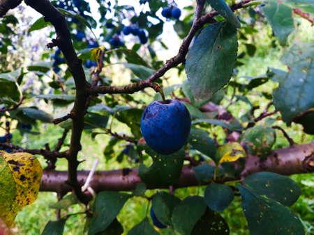 One ripe plum on a branch. Beautiful blue plum on the branch. Zavidovici, Bosnia and Herzegovina. 写真素材