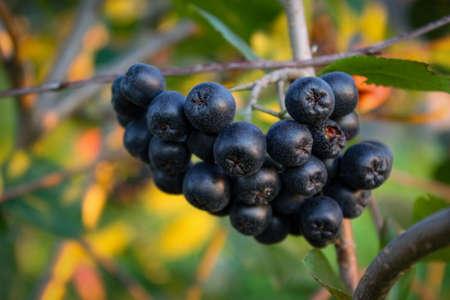A group of chokeberries on a branch. Aronia berries. Zavidovici, Bosnia and Herzegovina. 写真素材