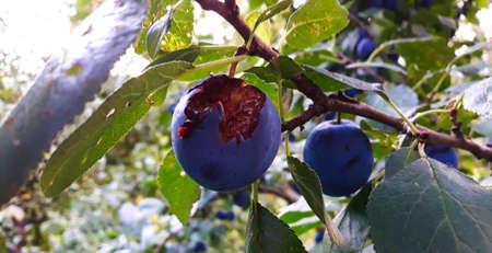 A ripe and scarred plum eaten by a bird. Plum on a tree branch. Zavidovici, Bosnia and Herzegovina. 写真素材