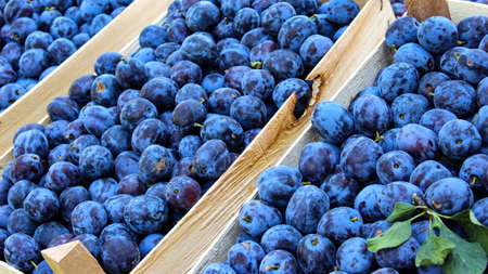 Banner, lots of blue plums in wooden crates. Displayed for sale on the market. Zavidovici, Bosnia and Herzegovina.