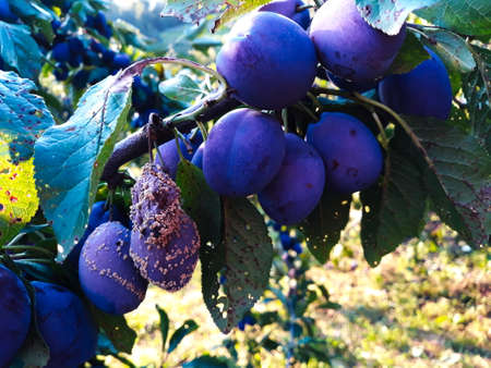 The group of the plums began to rot on the branch. Zavidovici, Bosnia and Herzegovina.
