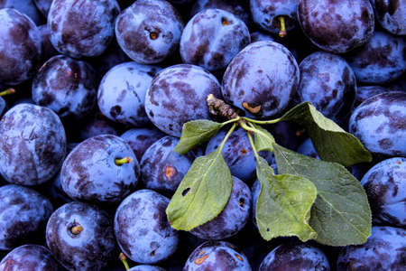 Full frame of blue plums with few leaves on top of them. Zavidovici, Bosnia and Herzegovina. 写真素材