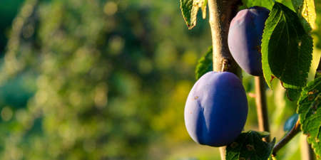 Banner. Blue ripe plums on a branch with leaves with a blurred background. Ideal background for copy text. Zavidovići, Bosnia and Herzegovina.