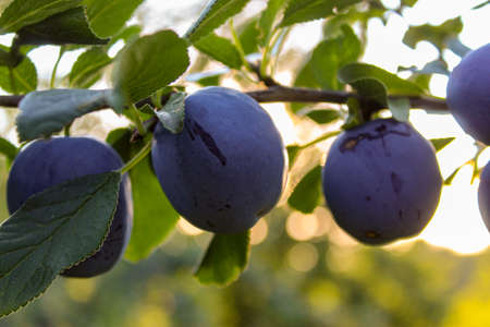 Ripe plums on a branch with leaves before sunset. Zavidovici, Bosnia and Herzegovina.