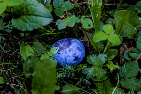One plum in the grass. Plum among the grass in focus. Zavidovici, Bosnia and Herzegovina. 写真素材