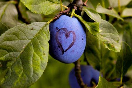 Among the leaves is a blue ripe plum on which a heart is drawn. Zavidovići, Bosnia and Herzegovina.