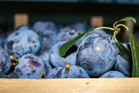 Ripe plums in a wooden crate. In focus one plum with leaves. Zavidovici, Bosnia and Herzegovina.