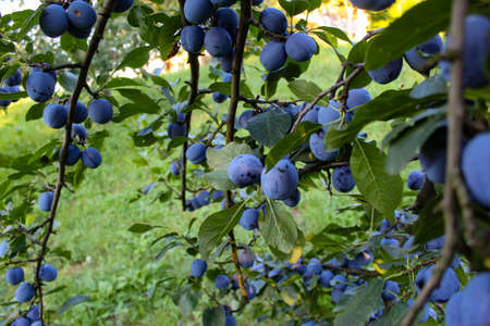 Lots of ripe plums on the branches in the plum orchard. Zavidovici, Bosnia and Herzegovina.