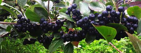 Aronia berry branch on bush. The chokeberries. Banner. Banner branch aronia berry. Aronia berries. Zavidovici, Bosnia and Herzegovina.