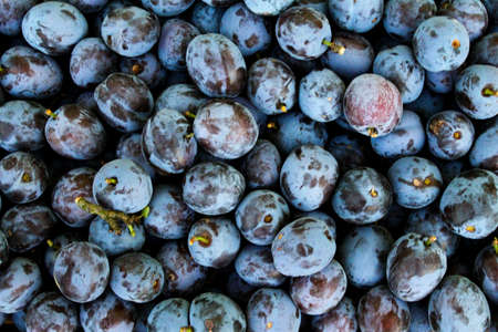 Full frame of fresh ripe plums as a background. Zavidovici, Bosnia and Herzegovina.