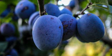 Banner. A group of large round plums on a branch. Plum orchard. Ripe blue plums on a branch. Zavidovići, Bosnia and Herzegovina.