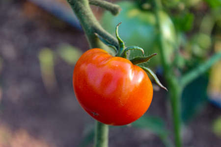 Small ripe red tomato on the plant. Zavodovici, Bosnia and Herzegovina.