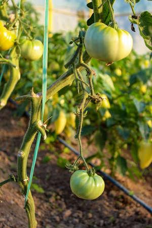 Two large immature green tomatoes on the plant. Zavodovici, Bosnia and Herzegovina.