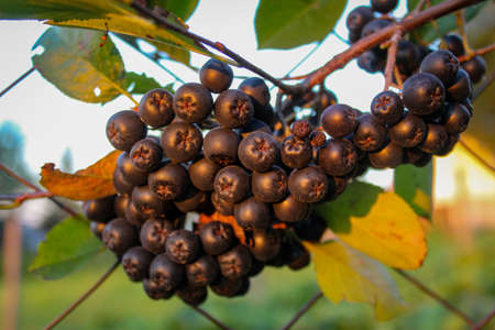 A large group of chokeberry berries on a branch. Aronia berries. Zavidovici, Bosnia and Herzegovina.