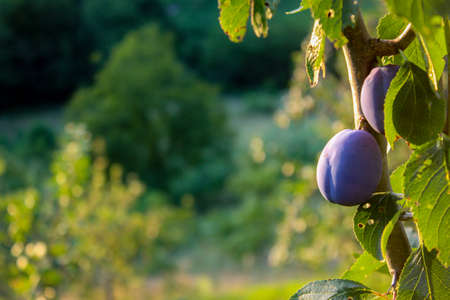 Plums on a branch with leaves in a plum orchard. Ripe plums. Copy text. Zavidovići, Bosnia and Herzegovina. 写真素材