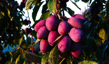 Ripe plums on a leaf branch, ready to harvest. Plums in the orchard. Zavidovici, Bosnia and Herzegovina. 写真素材